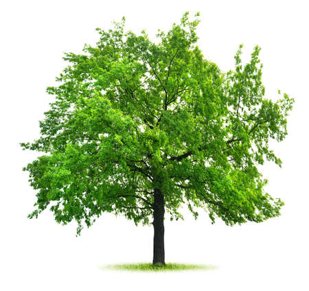 大きな緑のオーク 写真素材