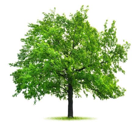roble arbol: Verde grande del roble