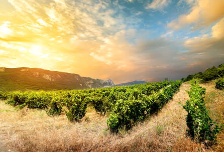 non urban scene: Grape field in the mountains  Ukraine Crimea Stock Photo