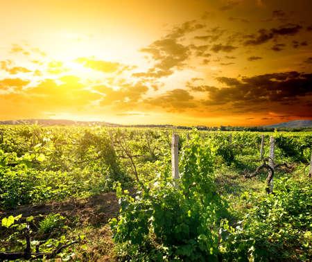 Crimean vineyard photo