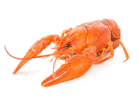 Red lobster isolated on a white background photo
