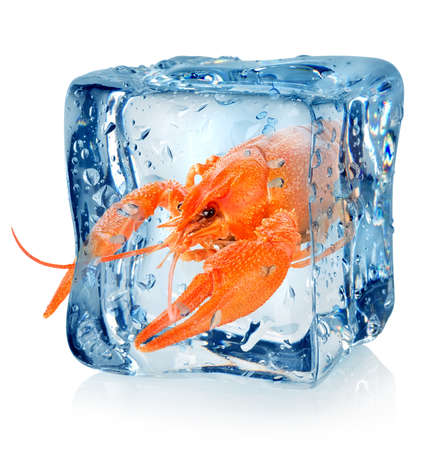 Crawfish in ice cube isolated on a white background photo