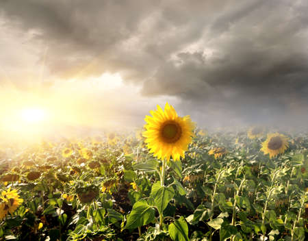 Sun through the clouds over a field of sunflower photo