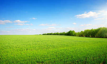 winter wheat: Beautiful green glade on a clear spring day Stock Photo