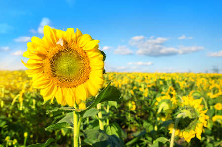 Bright yellow sunflower in the field at sunny day photo