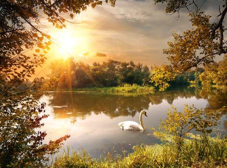 夕方に、池を白鳥します。 写真素材