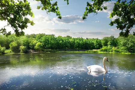 Swan on the river in summer day photo