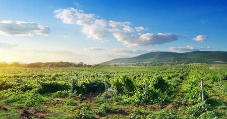 Crimean vineyard in mountains at the sunrise photo