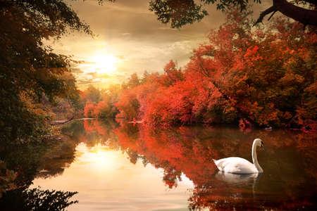 Swan in the autmn photo