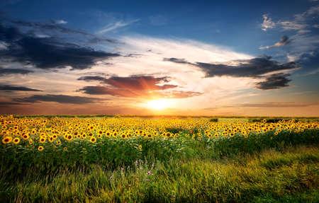 Gebied van de zonnebloemen Stockfoto