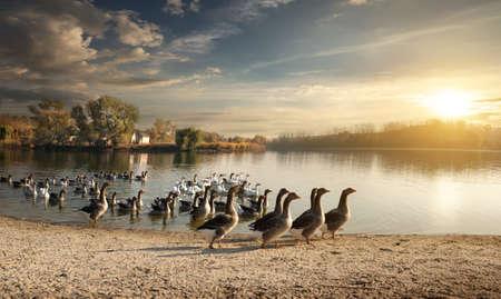 ocas: Bandada de gansos en el estanque del pueblo Foto de archivo