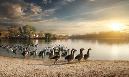 Flock of geese on the village pond