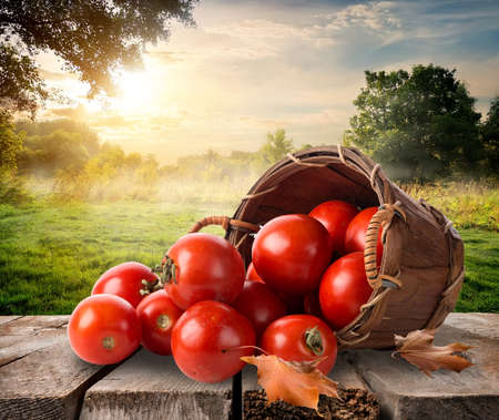 morning sunrise: Tomatoes in a basket on table and landscape Stock Photo