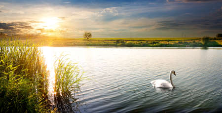White swan on a river at sunset