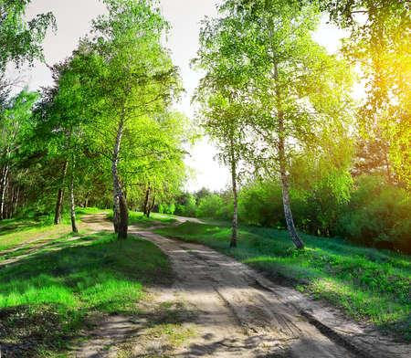 birchwood: Country road through birchwood in sunny morning