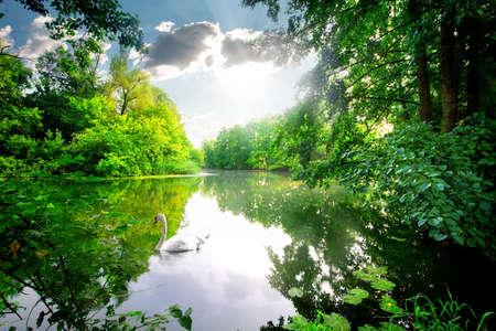 Witte zwaan op een kalme rivier in het bos