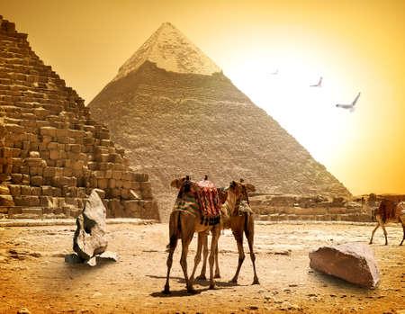 뜨거운 햇볕이 잘 드는 저녁에서 낙타와 피라미드 스톡 콘텐츠