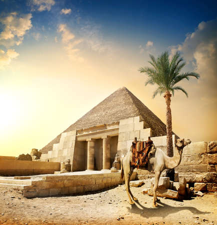 ピラミッドと彫像柱近くにラクダ 写真素材