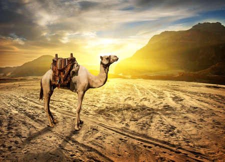 Camel in sandy desert near mountains at sunset