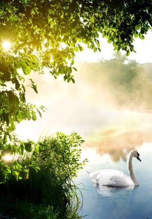 jezior: Biały łabędź na rzece w godzinach porannych Zdjęcie Seryjne