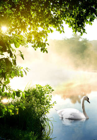 water birds: White swan on river in the morning