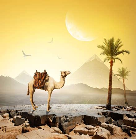 camello: Camello y pájaros bajo la luna cerca pyramids.Elements de esta imagen proporcionada por la NASA