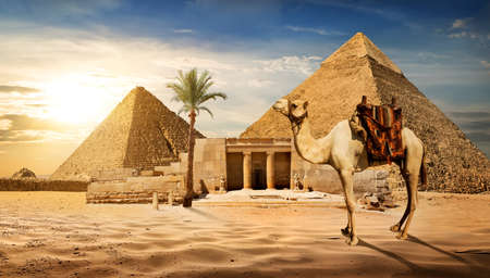 desert sun: Camel near entrance to pyramid of Cheops