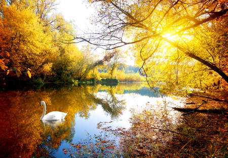 swan on the lake: Swan on the river in autumn forest