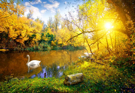 White swan on lake in autumn forest 스톡 콘텐츠