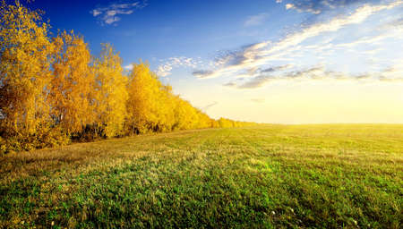 lawn grass: Yellow birches on autumn field at sunrise Stock Photo