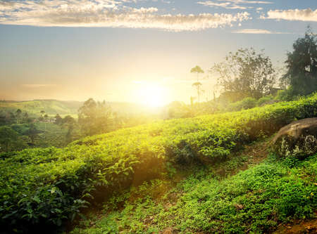 Sun over tea plantation in Nuwara Eliya, Sri Lanka Stok Fotoğraf - 55484148