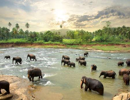 Elephants in water of jungle river, Sri Lanka