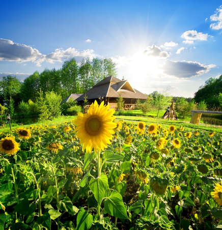 Wooden house near the field of blooming sunflowers