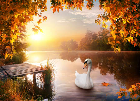Swan on autumn river Banque d'images