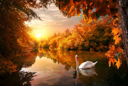 White swan on autumn pond in forest at sunrise