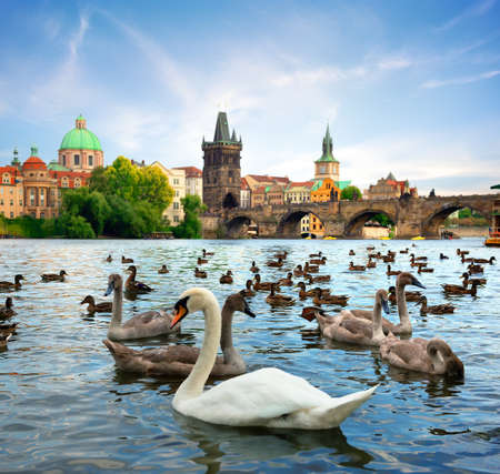 Charles bridge and Swans
