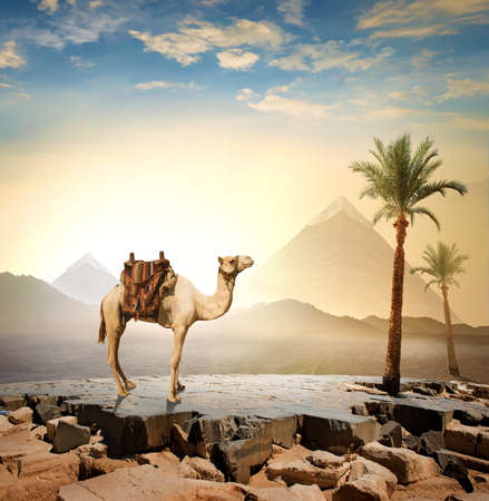 Egyptian camel in evening