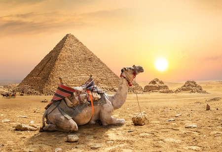 Chameau dans le désert de sable Banque d'images