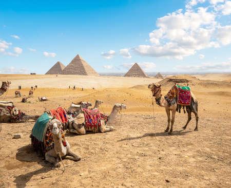 Camels in sandy desert 写真素材