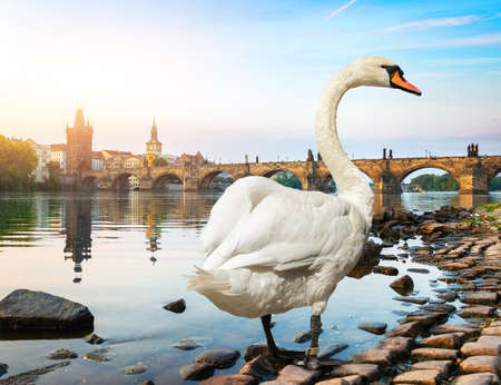 White swan in Prague 版權商用圖片
