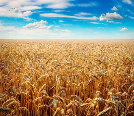 Beautiful wheat field Stockfoto