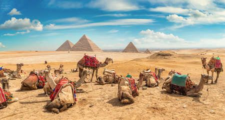 Camels at day