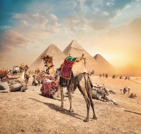 Camels near pyramids Banque d'images