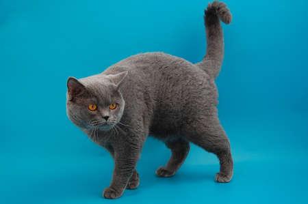 cheshire cat: Gato escoc�s