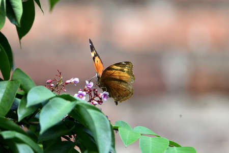 bodied butterflies and brown wings perched on starfruit flowers sucking honey juice