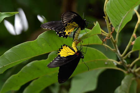 black butterflies with yellow shades on the wings are breeding on the leaves