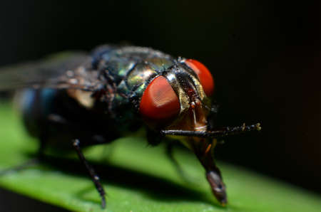 Flies are insect animals, the shape of a round eye is textured like a brownish red net, with a forward mouth, winged and downy hair on its body Banco de Imagens