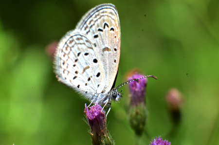 White wing butterfly, and the whole body has a white, gray hair perched on purple and white flower stalks