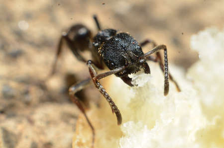 Black ants, square heads with two antennas on the front of the head, body and head textured with lines and downy, and two claws in the mouth and jagged legs