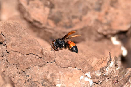 Brownish black wasps, wings stretched dark brown, downy body, belly with yellow brown stripes, with big round eyes with shiny brown color and there are a pair of antennas on the top of the head Zdjęcie Seryjne